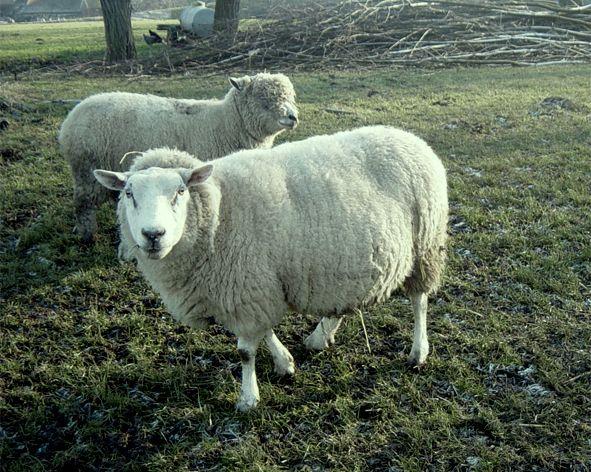 Lleyn    Het Lleyn schaap is van oorsprong een betrekkelijk onbekend ras van het schiereiland Lleyn in Noord Wales. In de 2e helft van de 20e eeuw is het ontdekt door grote, commerciële houders als ideaal slachtlammoederdier.