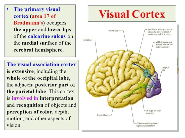 Visual Cortex The primary visual cortex (area 17 of Brodmann's) occupies the upper and