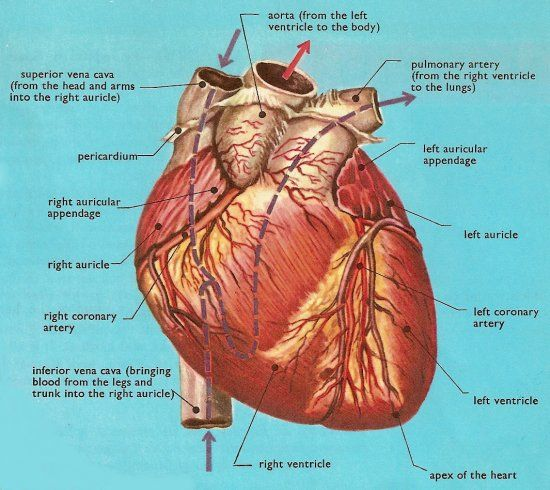 External View of the Heart | this diagram shows the heart in greater detail than others.