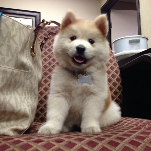 husky and chow chow mix-OMG my 2 favourite dogs in one!!! My life has just been completed.