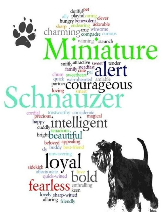 Miniature Schnauzer--This Pin was discovered by Kala Whitaker. Discover (and save!) your own Pins on Pinterest.