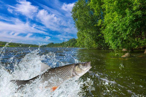 splash fish chub fish jump