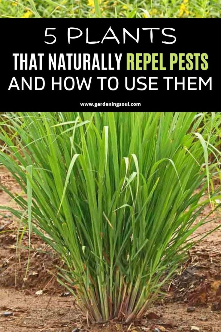 5 Plants That Naturally Repel Pests and How To Use Them in