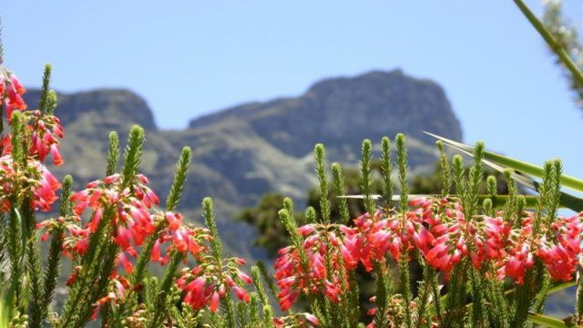 In Cape Town, which is renowned for its natural beauty, there are few places that contribute so clearly to the Mother City's pretty face than Kirstenbosch National Botanical Garden, with its perfect emerald lawns spreading out from the foot of Table Mountain. Read more about #Kirstenbosch in #CapeTown on our website.