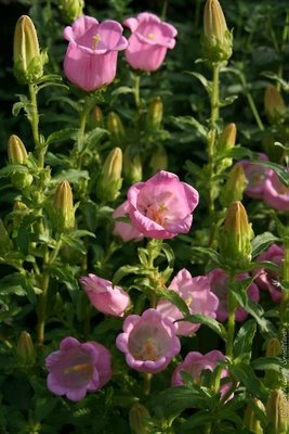 Bellflowers...pretty in pink (1) From: City In A Garden, please visit
