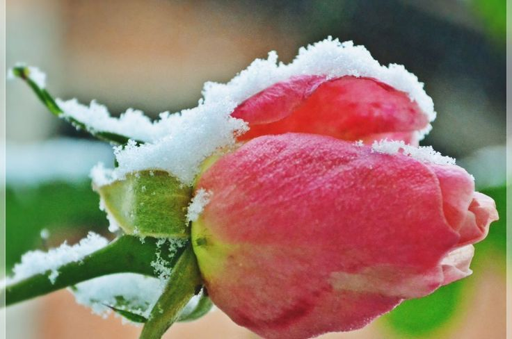 Even covered with snow, the rose still looks beautiful