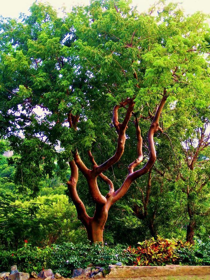 ✮ The turpentine tree has beautiful sleek bark and graceful reaching limbs