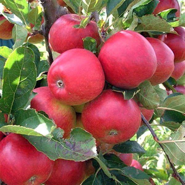 Arkansas Black Apple Tree Fruit And Foliage Apple Tree From Seed Apple Tree Growing Apple Trees