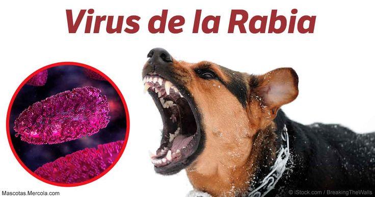 La rabia puede provocar síntomas de fiebre, ansiedad, desorientación, convulsiones, agresividad, insuficiencia respiratoria, parálisis y muerte.