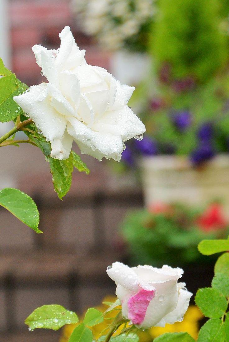 お庭に白いバラが咲き始めました♪~♪ #薔薇 #flowers