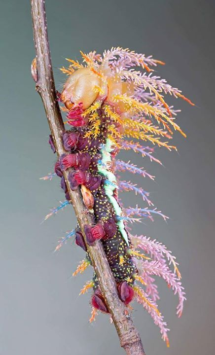 A spectacular Saturniidae Moth caterpillar. Isn't he amazing!