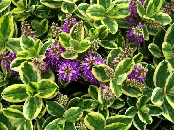 VERONICA- HEBE Un dels arbustos de fulla perenne més utilitzat en jardineria per la seva utilitat, floració i fulla decorativa. Ideal per fer tanques o divisions en parterres de jardins gràcies a l…