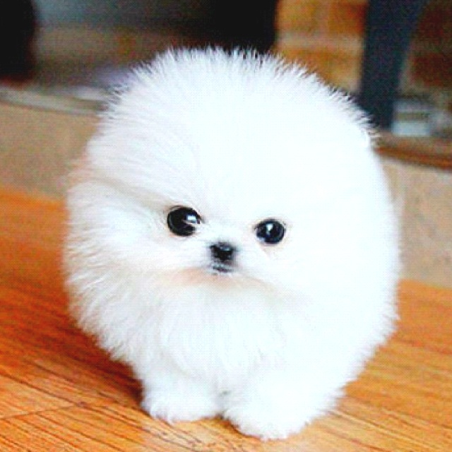 fluffy baby dogs - photo #4