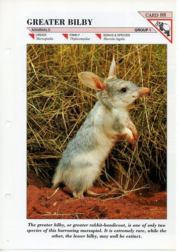 Greater bilby - Fact file Card