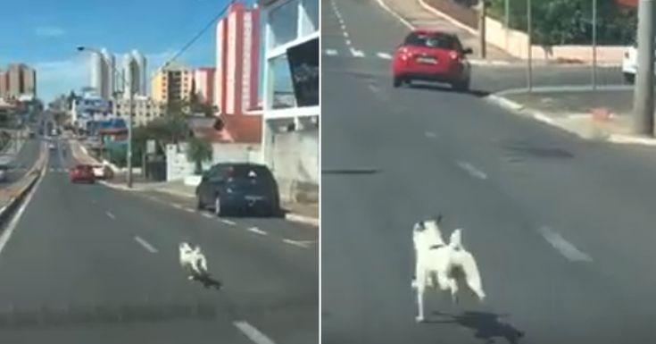 Este perro acaba de ser abandonado y corre desesperado a toda velocidad para tratar de alcanzar a su familia #abandono #perro #perros #cachorro #cachorros #animales #animal #bulldog #bulldogs #mascota #mascotas #noticias #noticias #schnauzi #viral #video #videos #brasil #saocarlos #saopaulo #maltratoanimal #dog #dogs #pet #pets