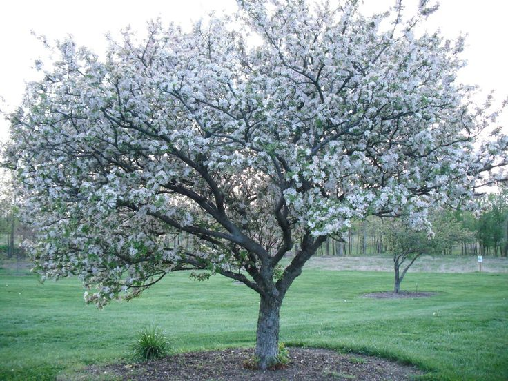 9. prunus aremenica, apricot, ht. 30-35 ft., spread 20-25 ft., zone 4, pink flower