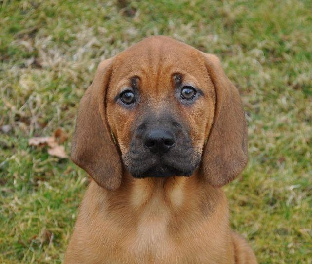 Lucy Stuffed Animal Killer Redbone Coonhound Dog
