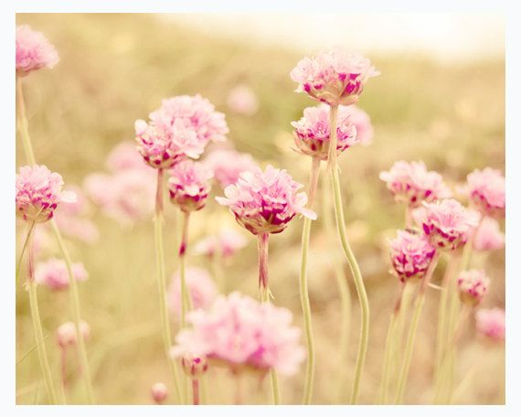 Dreamy nature photography, pastel pink flowers, 8x10 wall decor, shabby chic, light green grass, meadow, rustic - Sun Flared