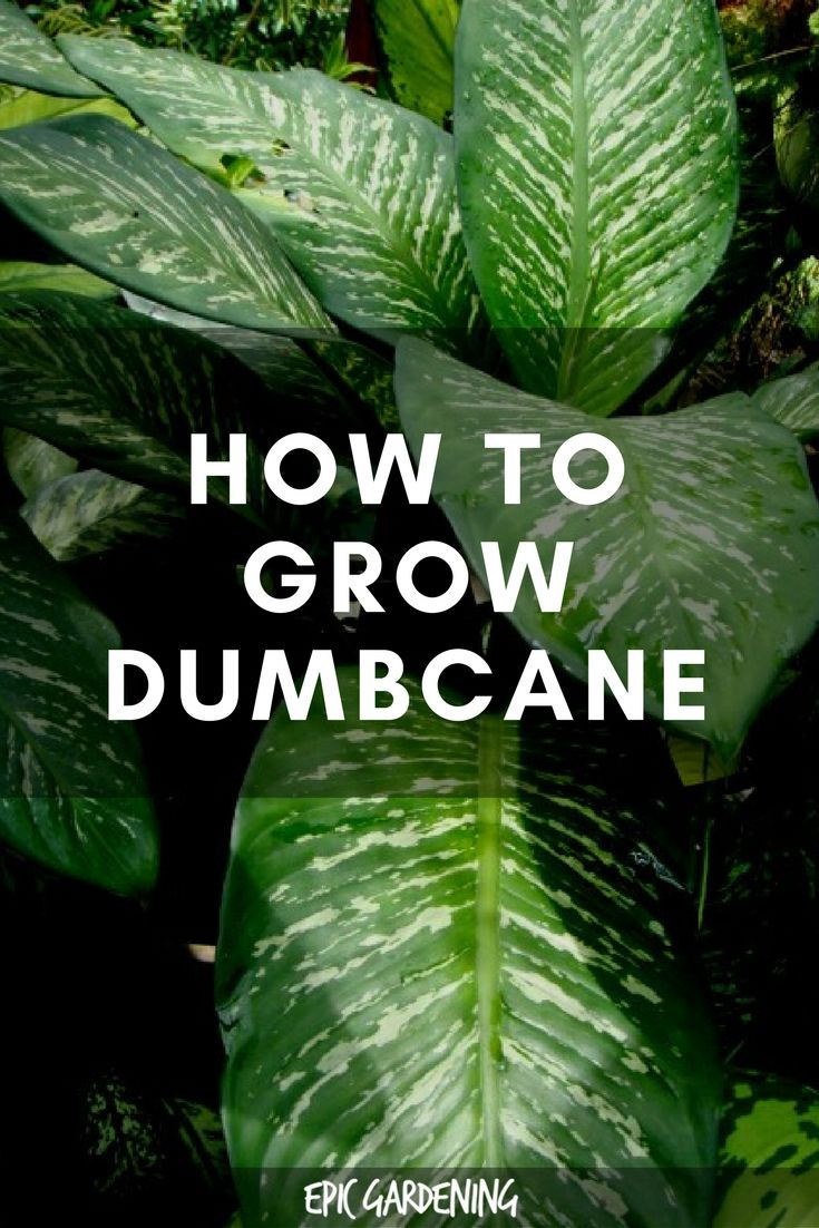 Dieffenbachia Plant Care How To Grow Dumb Cane Plants