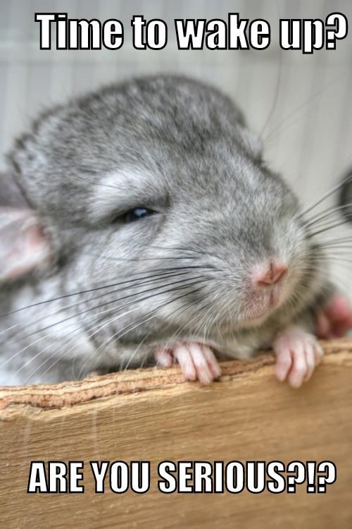 I love baby chinchillas...