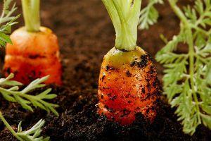 Морковь Фото Growing Plants Indoors Edible Garden 400 x 300