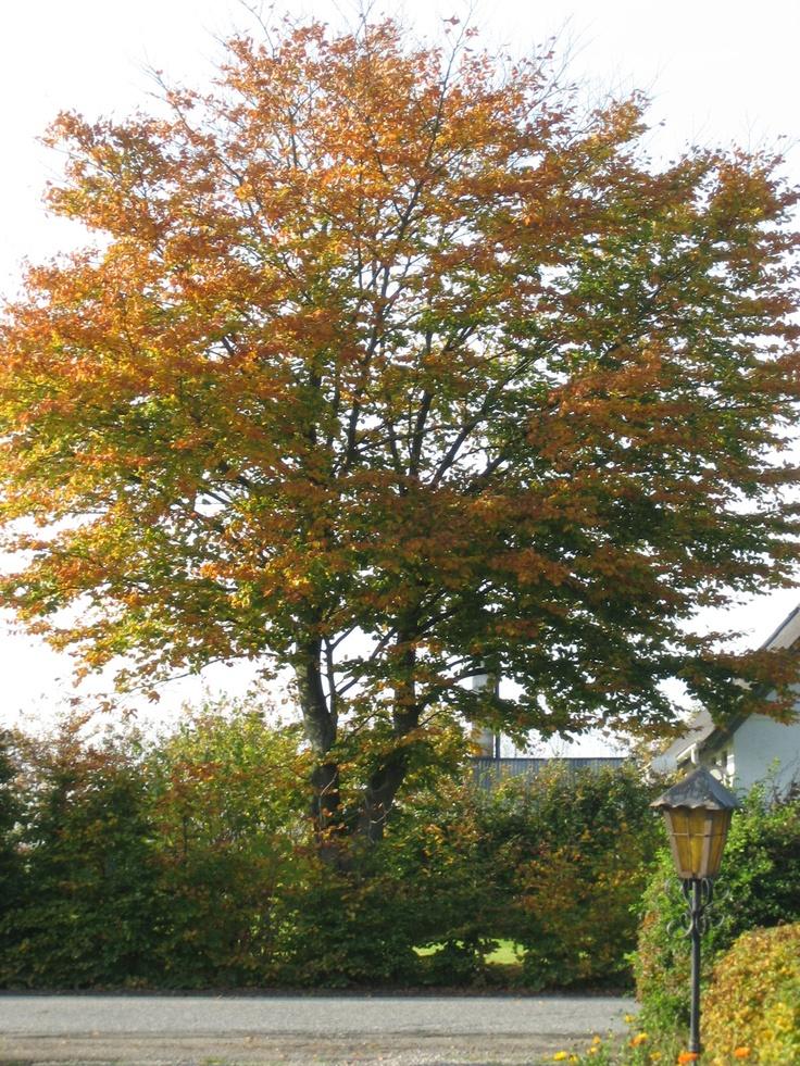 Naboens smukke bøgetræ.