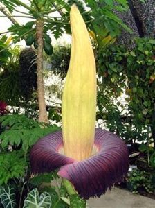 "Stinking Titan Arum (Corpse Flower)  A flower taller than a man, stinking strongly of putrefying roadkill and colored deep burgundy to actually mimic rotting flesh. Indonesia's titan arum—or ""corpse flower"" as known by locals—is a real, if rare, phenomenon, pollinated in the wild by carrion-seeking insects."