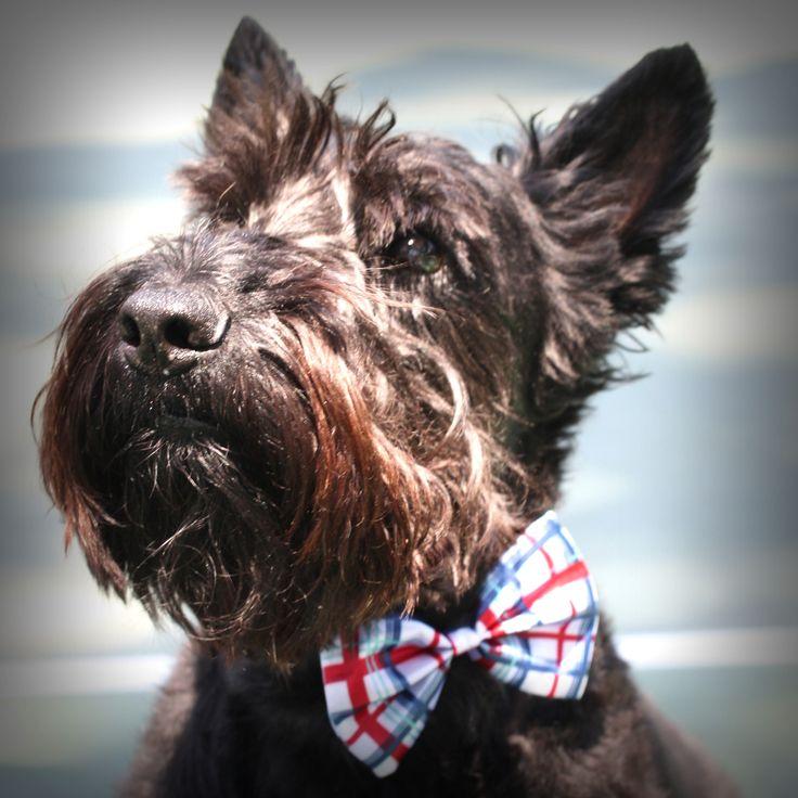 ...Modern Scottie, Things Scottie, Bows Ties, Scottie Dogs, Bow Ties, Bowties, July Bows, Animal, Scottish Terriers