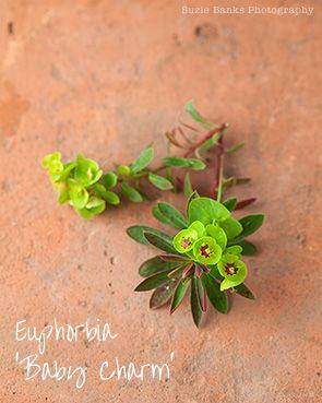 Euphorbia 'Baby Charm'