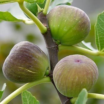 Fig Trees | Fast Growing Trees