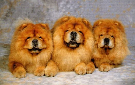 Is The Chow Chow The Right Breed For you