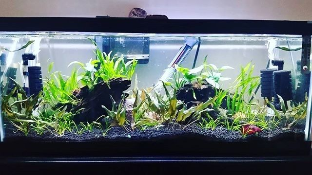 Awesome planted aquarium by Andrea Pauls! Lots of space for that betta! #bettatank #aquascape #plantedtank #bettaboxx
