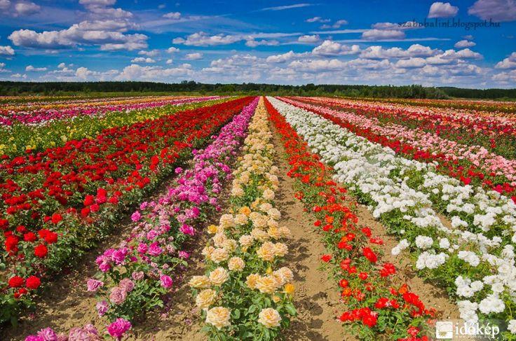 Szőregi rózsaföld Szeged határában