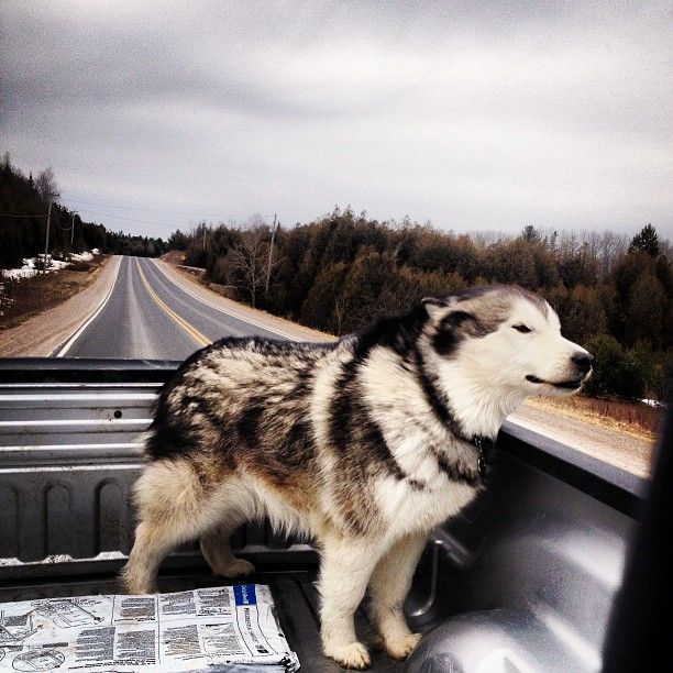 Awww! I've been in a truck with a husky and you can see the fur just fly