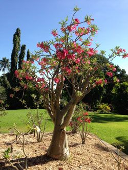 2014 holiday destination  Desert Rose Tree ~ Darwin Botanical Gardens..