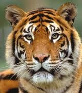 Amazing TIGER FACTS FOR KIDS