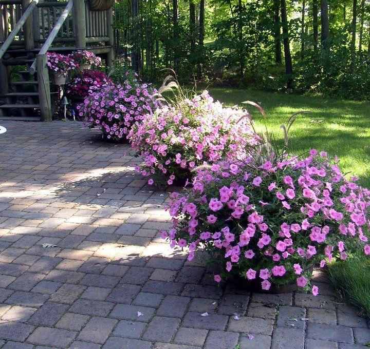 Hanging Flower Baskets Spokane : Best images about bubblegum petunia on