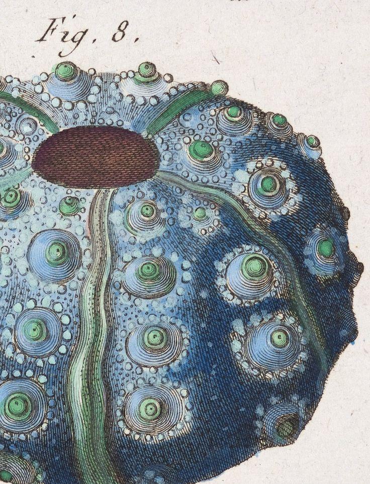 Jean Baptiste (Pierre Antoine) de Monet, Chevalier de Lamarck [1744-1829], Echinus 136—Tableau Encyclopédique et Méthodique des Trois Regnes de la Nature, Paris 1791-1798.