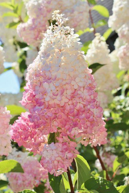 bluetooth earbuds best Vanilla Strawberry Hydrangeas via Fishtail Cottage