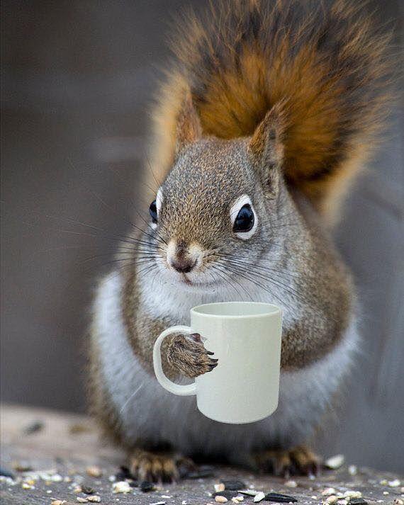Coffee loving squirrel
