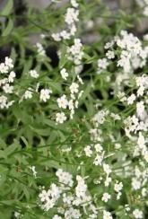 Water Forget Me Not (Myosotis Alba) - Plants