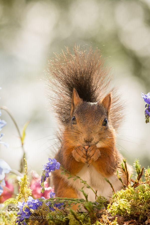 look - Pinned by Mak Khalaf female red squirrel standing with flowers looking in the lens Animals nutanimalbrightclose upcuteeatflowerfunnygroundhappylightmammalmossnatureperennialplantredrodentspringsquirrelsummer by geertweggen