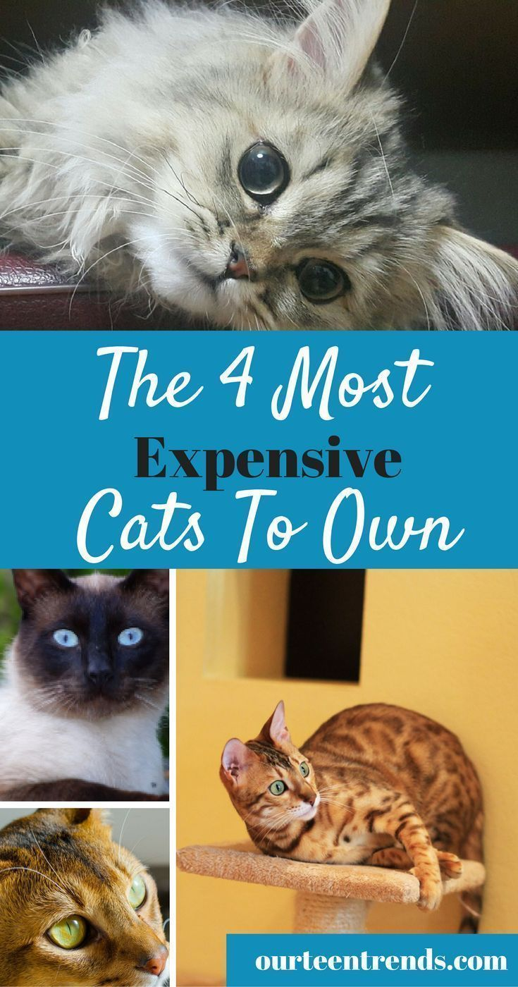 Best 25 All cat breeds ideas on Pinterest