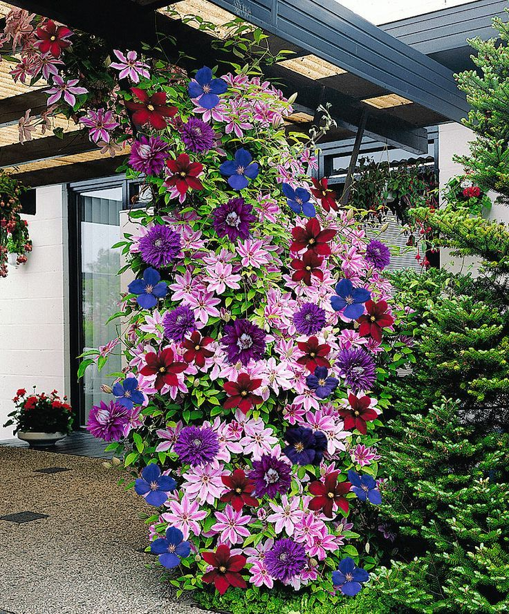 "Clematis are lovely bright colored climbing flowers that will light up any garden. They are ""friendly"" plants that grow well with others and grow upwards of 9-12 feet."