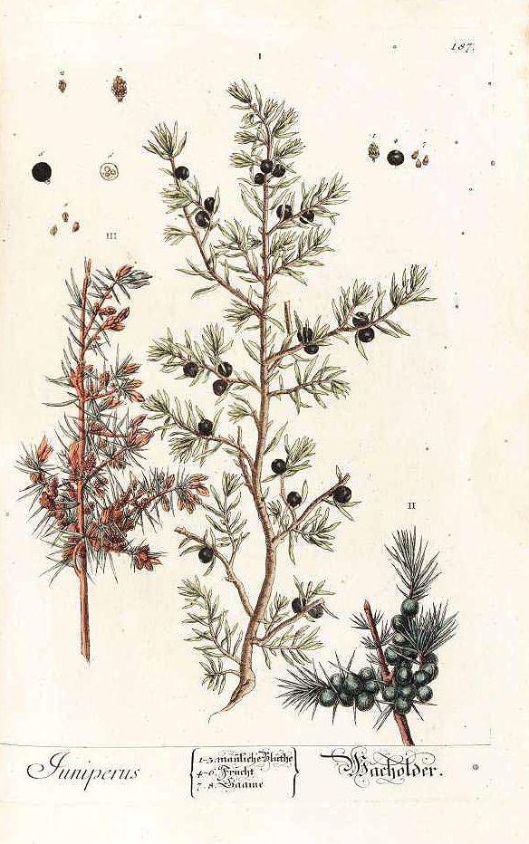 juniperus 1754