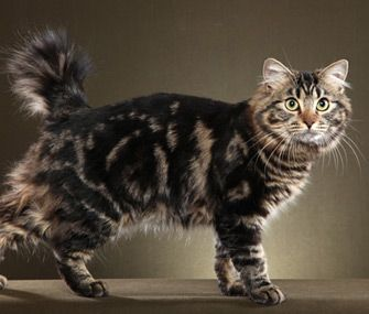 Find out why the American Bobtail's fans call him a dog in a cat's body.