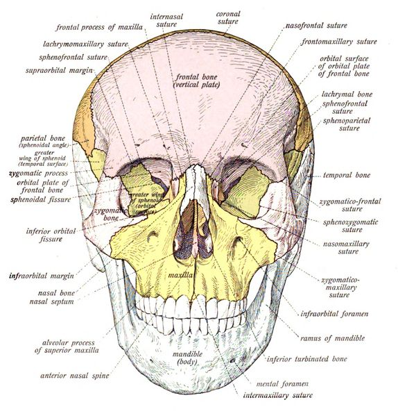 There are 29 bones (hyoid included) in the human skull, and for many years anthropologists have been using markers from this area of the bod...