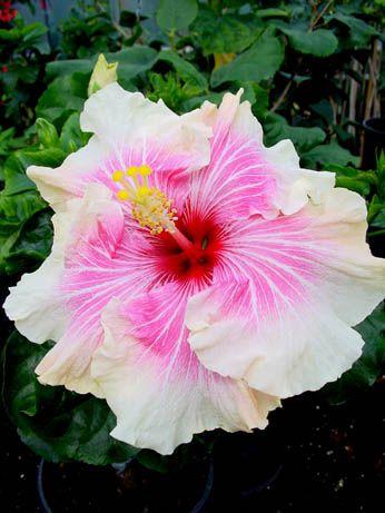 Hibiscus 'Tahitian Strawberry Moon'