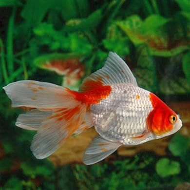 Best 25+ Ryukin goldfish ideas on Pinterest | Goldfish ...