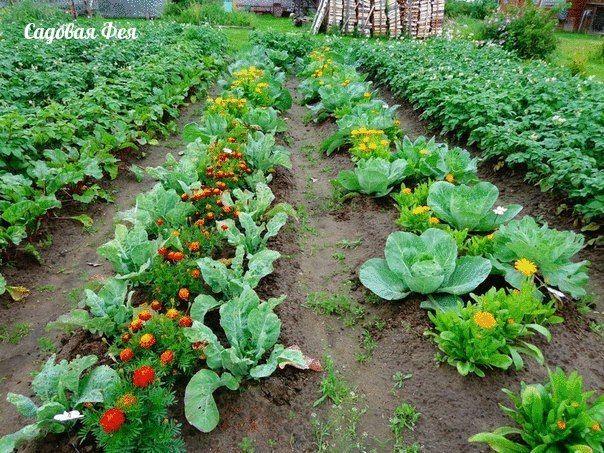 ОВОЩИ, КОТОРЫЕ СТОИТ ПОСАДИТЬ РЯДОМ ДРУГ С ДРУГОМ.1. Чудесное трио: кукуруза, горох и тыква. Секрет их совместного выращивания знали ещё американские …